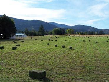 Alfalfa hay bales in the field