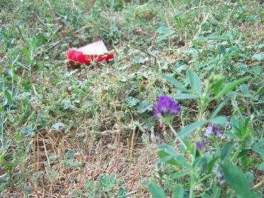 Feral roadside alfalfa
