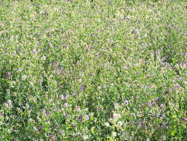 Flowering alfalfa plants