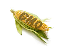 GMO Corn on the Cob