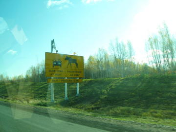 Moose crossing! on the road to Halifax