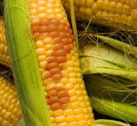 Sweet Corn Question Mark